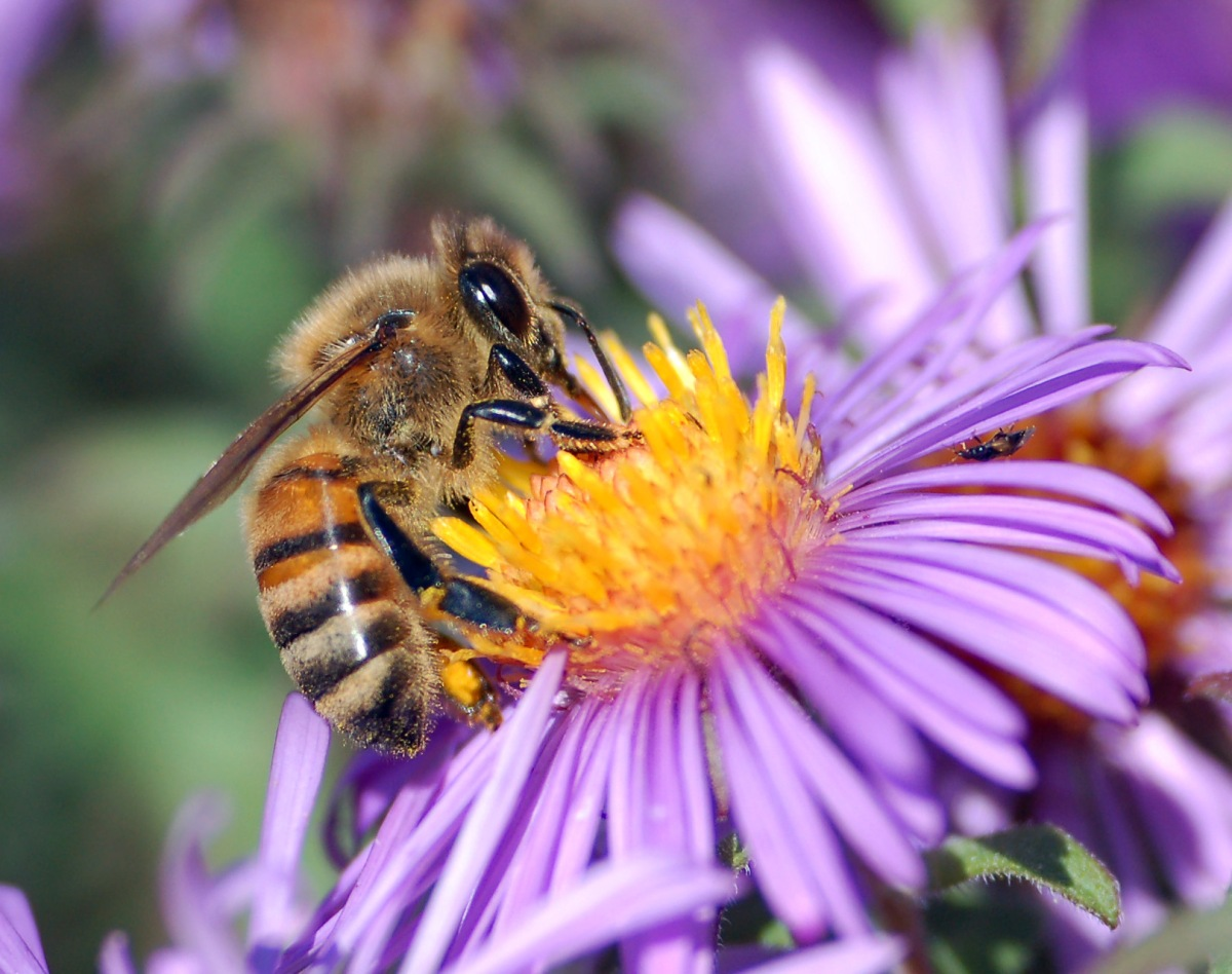 Pollinators: Contributions & Risks